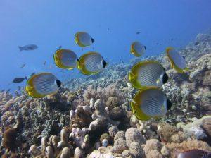 pesci tropicali panda butterfly scuba diving malesia