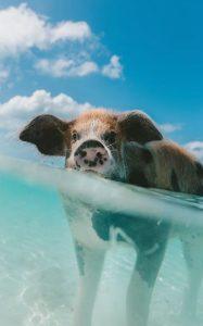 vacanze alle Bahamas quando andare pig