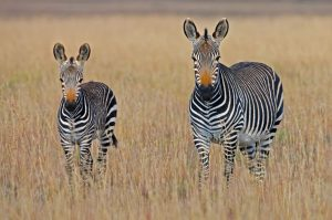 Mountain Zebra National Park Sudafrica
